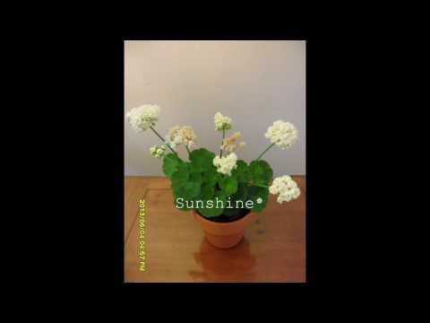 Pelargonium Vit Rosen 2 (2012~2014) 로즈버드 비트 로젠