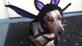 Dapple Miniature Dachshund Halloween Costume