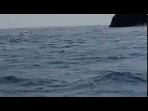 Diving Gannets at Skellig Michael