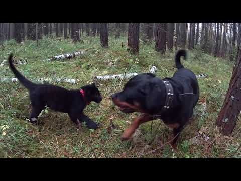 Luna and Venza in the twilight forest. Black leopard kitten playing with dog.