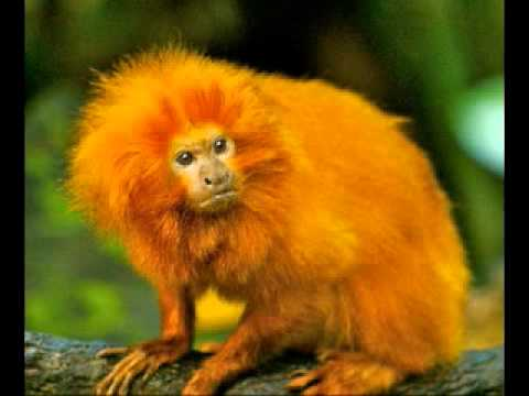 Golden Marmoset - YouT...