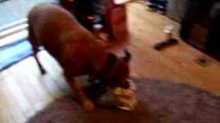 Staffordshire Bull Terrier X Opening Her New Toy