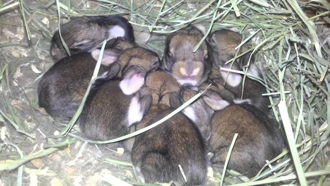 Sandy Flemish Giant Babies - YouTube