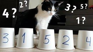 「こんにゃのお茶の子さいさいにゃ!」保護猫プーシクくん、コップに隠されたボールを当てまくる