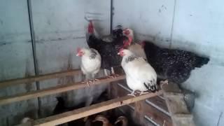 Kury i kaczki ozdobne: Ważna informacja