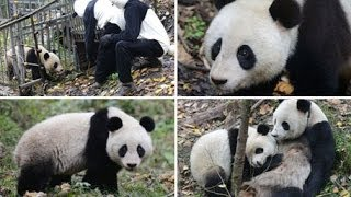 2-year-old giant panda cub to be released into nature reserve
