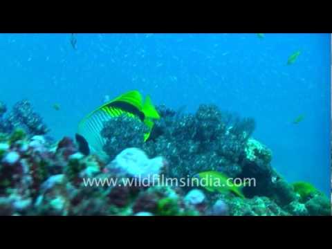 The Butterfly Fish (Chaetodon Auriga)