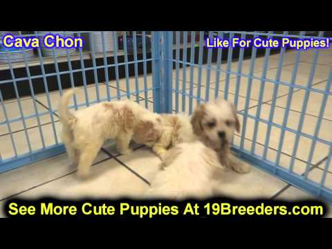 Cava Chon, Puppies , For, Sale, In Staten Island, New York, NY, Brooklyn, County, Borough