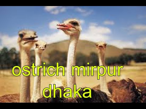 Ostrich In Dhaka