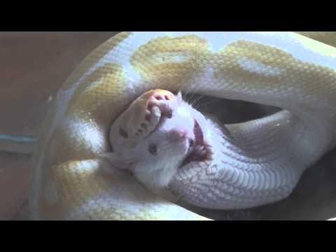 Ball Python (Albino) Swallow Mouse Backwards