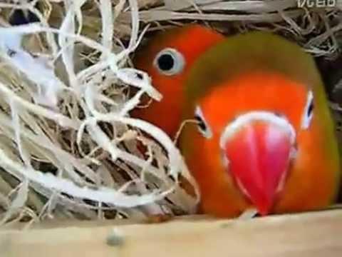 9 янв 2015. Попугаи неразлучники отличаются от остальных видов попугаев своей. Прежде чем купить неразлучников, позаботьтесь о том, чтобы.