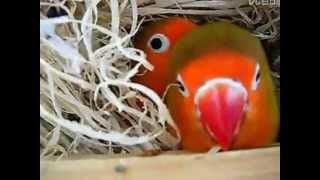 Попугаи неразлучники Фишера в гнезде