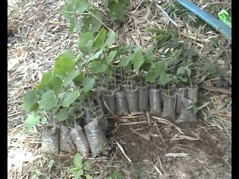 Quy trình trồng dưa leo chất lượng theo hướng GAP phần 2