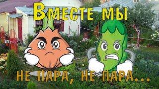 видео Почему нельзя сажать помидоры рядом с огурцами