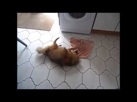 German Mittle Spitz playing and  being Cute