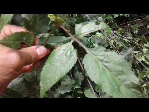 Medicamento caseiro , Planta Picão  de Cipó , contra Dengue