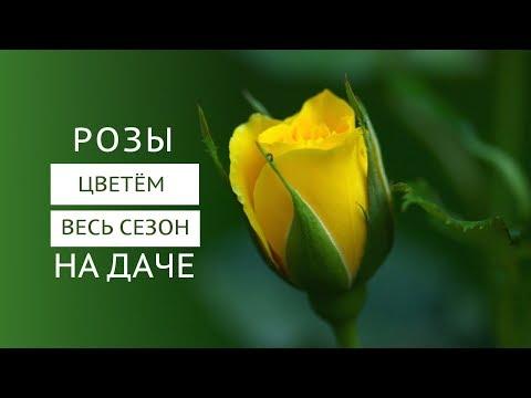 Розы, цветущие всё лето