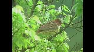 シマノジコ(2)ぐぜり(対馬) - Chestnut bunting - Wild Bird - 野鳥 動画図鑑