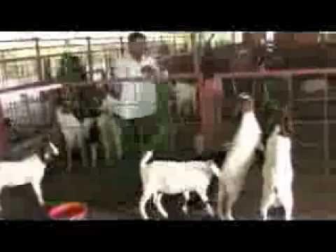 WN - hydrabadi gulabi goats digsan goat farm
