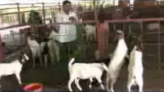 indian goat farm - sirohi jamunapari totapari goats delhi