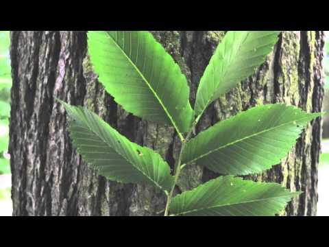 Fast Growing American Elm