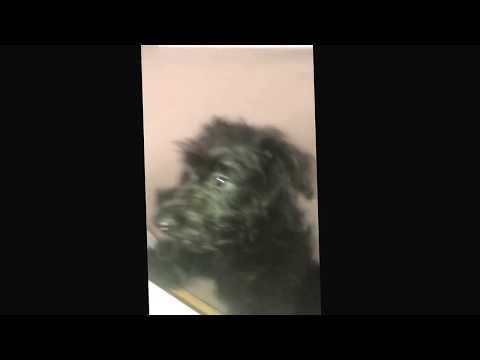 Scottish Terrier X Poodle - Happy puppy
