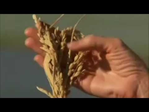 Northern California Rice Farm - America
