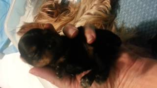 Micro Teacup Yorkie Opening Eyes.