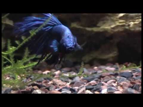 Betta Fish Flaring For The Camera