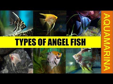Top 10 Most Popular Angel Fish Varieties | Types Of Angelfish || Aquamarina
