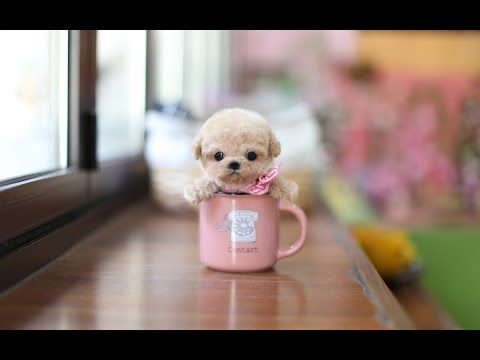 Tic Cup Puppy Mini Puppy Toy Poodle Poodle
