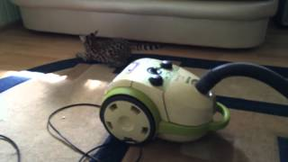 Сервал кошка котенок Leserval