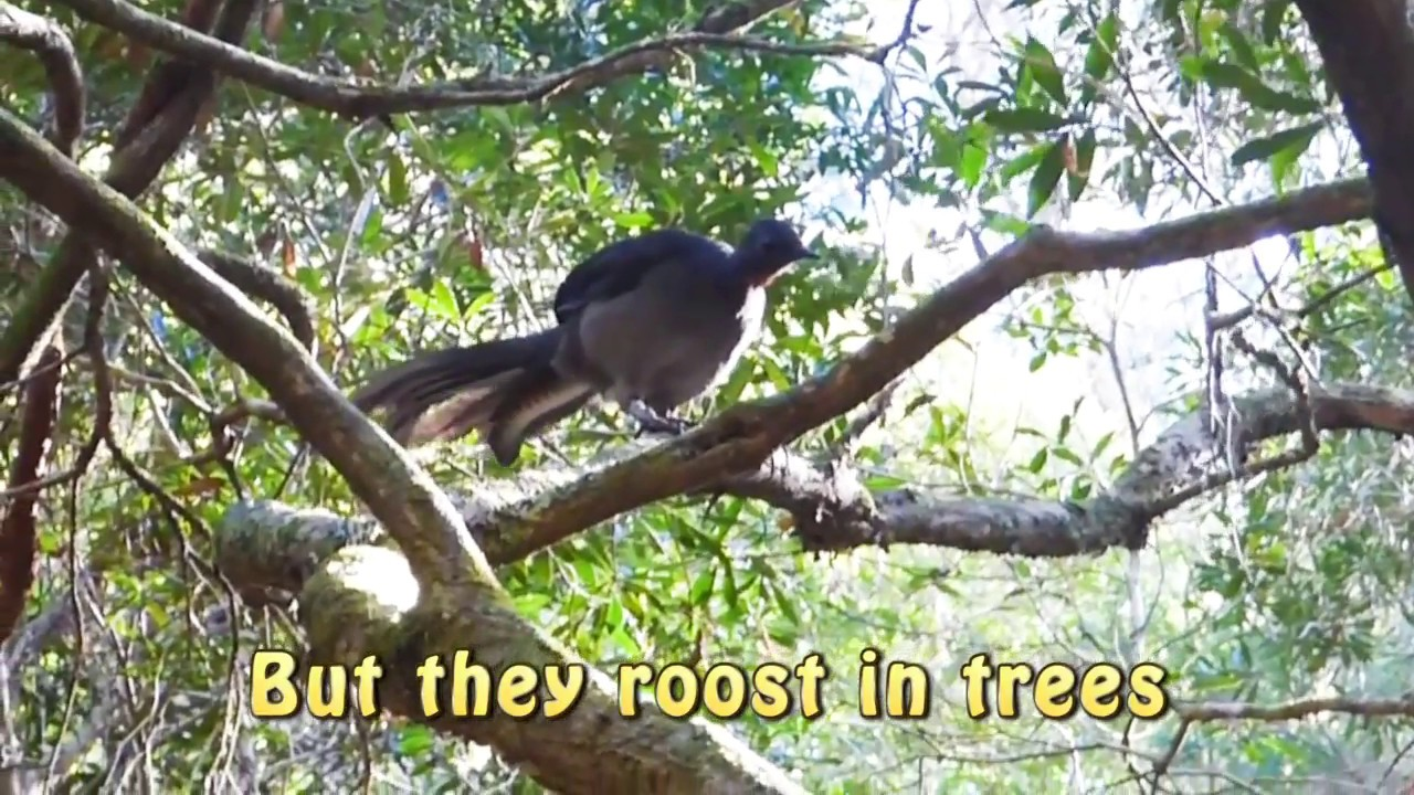 superb lyrebird flying youtube