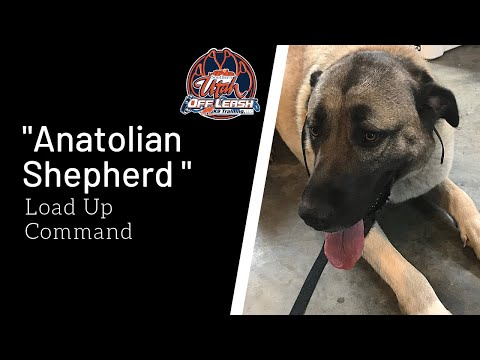 Anatolian Shepherd Dog - Off Leash k9 Training of Southern Utah