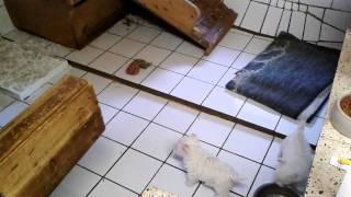 West Highland White Terrier Welpen - Westie Welpen Beim Spielen!
