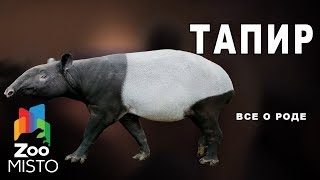 Тапир - Все о отряде непарнокопытных |  Отряде непарнокопытных тапир