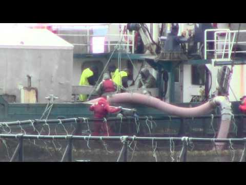 Cooke Aquaculture's Atlantic Salmon slaughter: suck 'em out or huck 'em out.