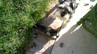 Miniature Schnauzer Pups Rompin' Around The Back Yard