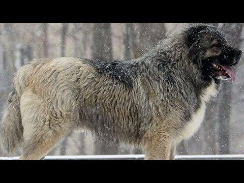 Кавказская овчарка Среднеазиатская овчарка Питомники | 360x480