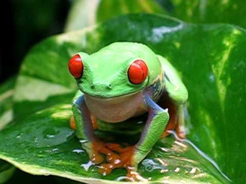 Agalychnis callidryas en chambre de pluie : chant