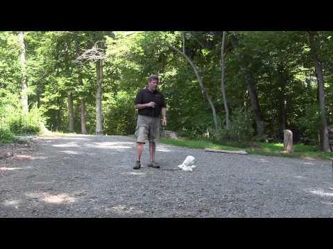 winston-salem-residency-training-program- -windsor- -havanese-puppy