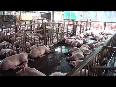 Download PHIM CON HEO | Khủng khiếp hàng ngàn con lợn bị tiêm thuốc an thần