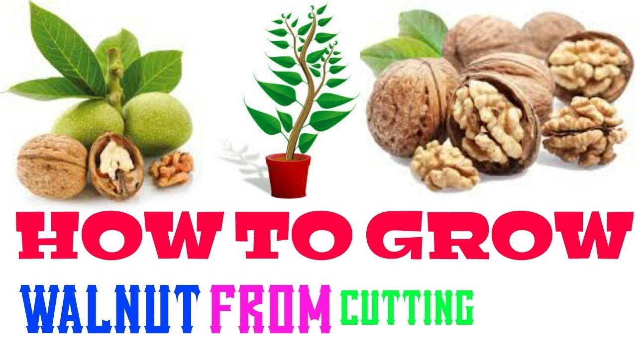 How To Grow Walnut Trees From Cutting Growing Nut Tree