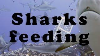 Sharks feeding at Osprey Reef Australia