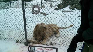 Lion Feeding at Jungle Cat World