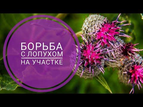 Вопрос: Какое растение выбивает борщевик Лопух может?
