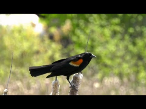 Dive-bombing angry bird, Pete, terrorizing Ottawa-area residents