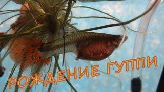 Рождение МАЛЬКОВ ГУППИ Как рождаются рыбки Гуппи КРУПНЫМ ПЛАНОМ