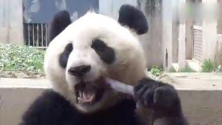 笹の葉だけじゃない。パンダはタケノコもお召し上がりになる