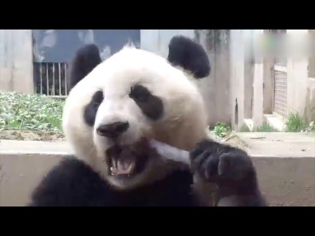 Pandamonium alert: Chinese netizens go wild about panda chomping on bamboo